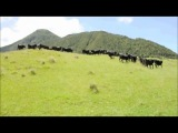 Коровы и машинка на радиоуправлении)